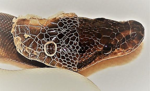 ball python general health information