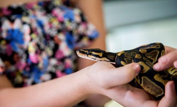 ball python handling and bonding tips