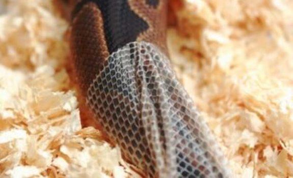 ball python shedding skin