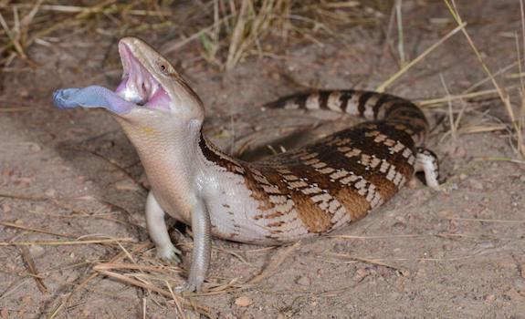 blue tongue skink health concernsblue tongue skink health concerns