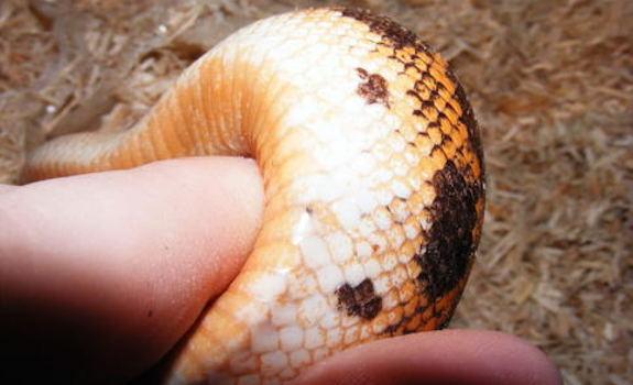 snake mites on snake