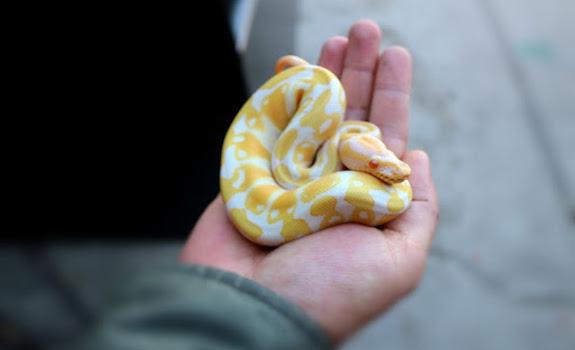 where to buy a ball python