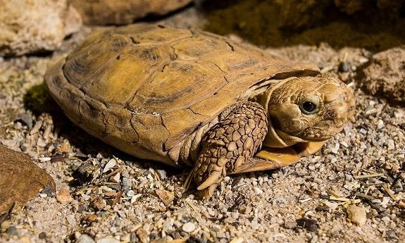 African Pancake Tortoise