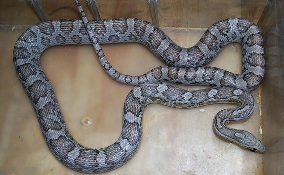 Anerythristic Ghost Corn Snake
