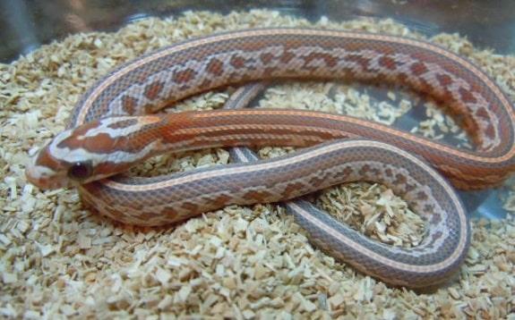 Aurora Corn Snake