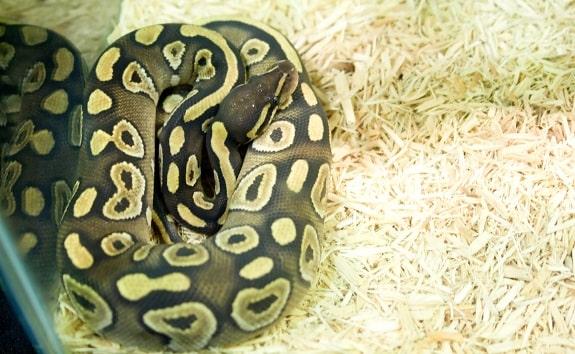 Ball Python Aspen Substrate