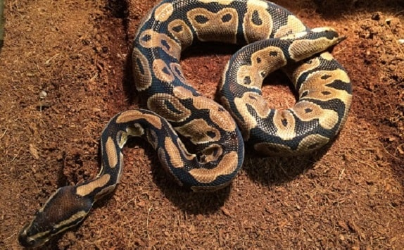 Ball Python Coconut Fiber Substrate