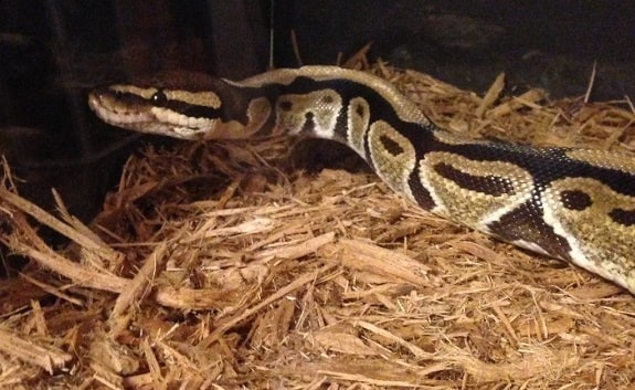 Ball Python Cypress Mulch Substrate