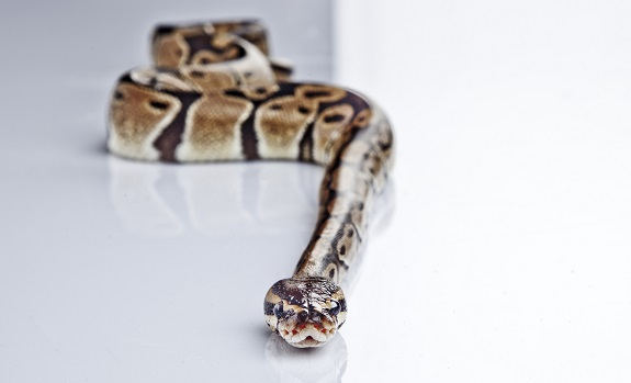 Ball Pythons Are Low Maintenance Pets
