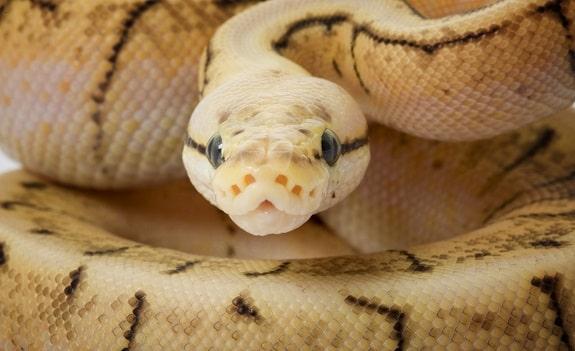 Ball Pythons Make Beautiful Pets