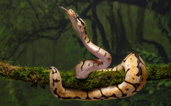 Ball Pythons Make Interesting Pets