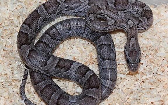 Charcoal Anery B Corn Snake