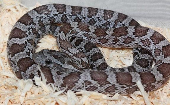 Cinder Corn Snake