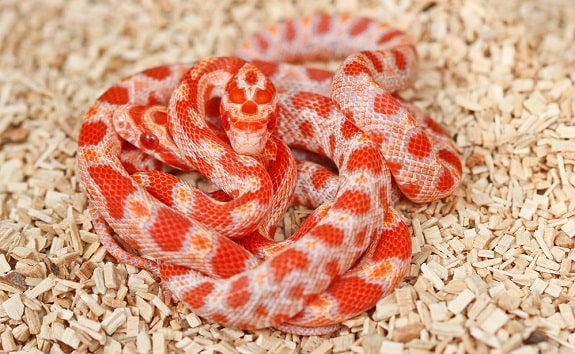 Cost of Corn Snakes