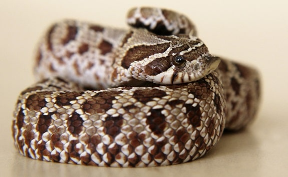 Cost of Hognose Snakes