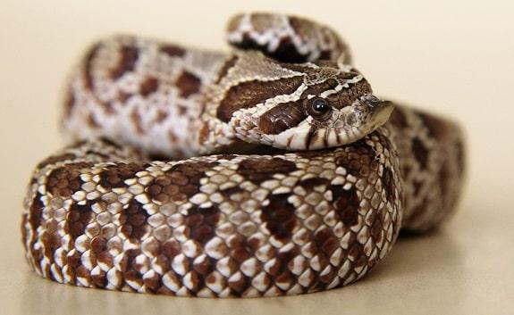 Cost of Hognose Snakes