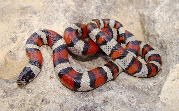 Cost of Milk Snakes