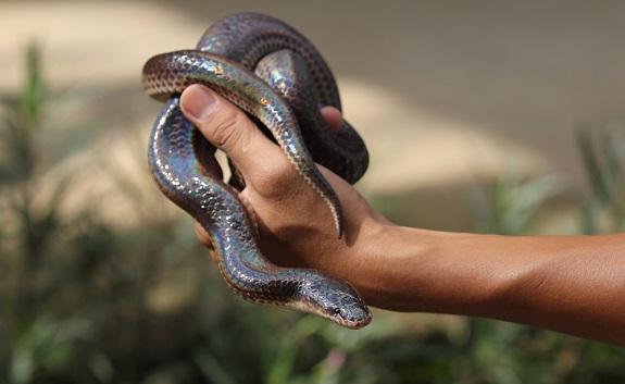 Cost of Sunbeam Snakes