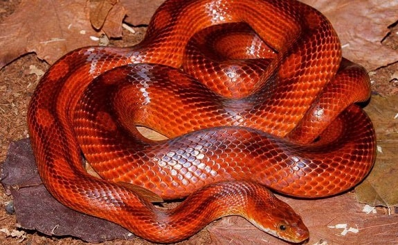 Diffused Corn Snake