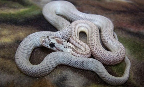 Dilute Anery Corn Snake