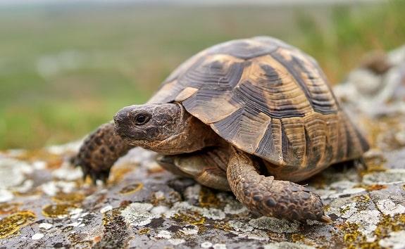 Greek Spur Thighed Tortoise