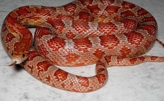 Hypomelanistic Corn Snake