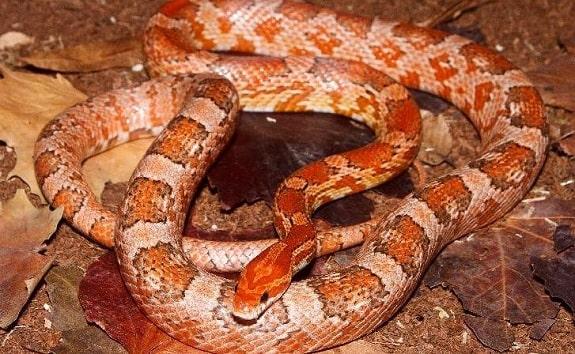 Kastanie Corn Snake