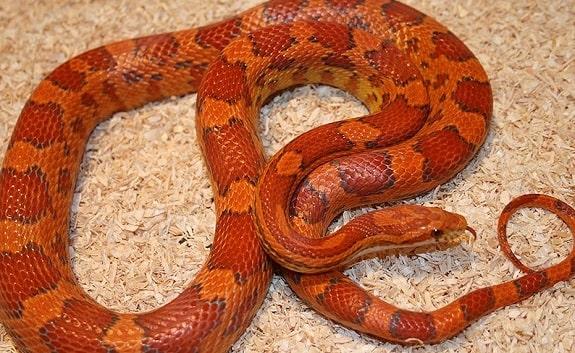 Lava Corn Snake