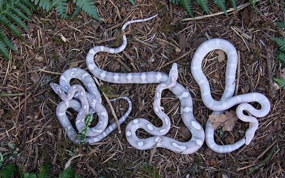 Lavendar Corn Snakes