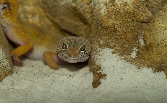 Leopard Gecko Sand Substrate