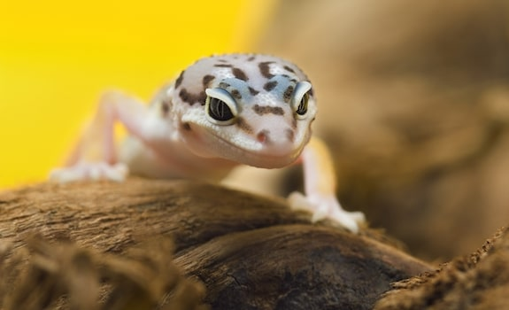 Leopard Gecko wood substrate