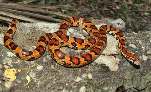 Okeetee Corn Snake