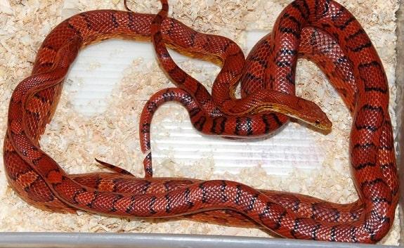 Red Coat Corn Snake