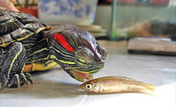 Red eared slider and minnow