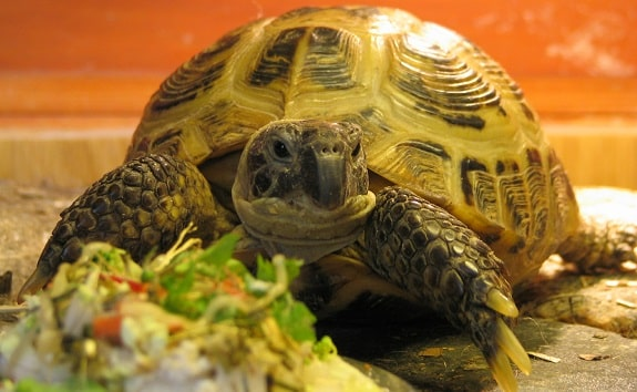 Russian Tortoise Diet and Feeding Guidelines