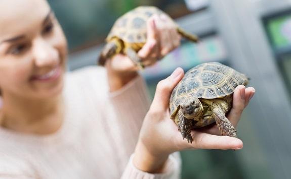 Russian Tortoise Handling Bonding Tips
