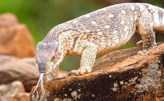 Savannah Monitor Background Information