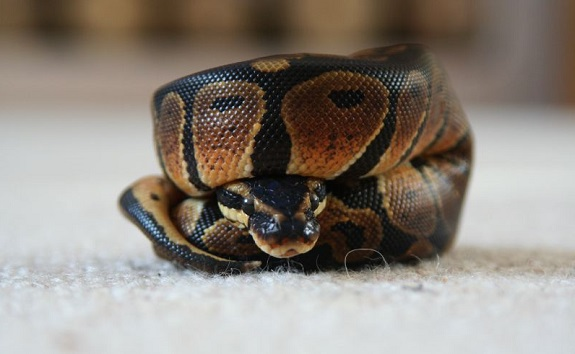 Small Curled up Ball Python