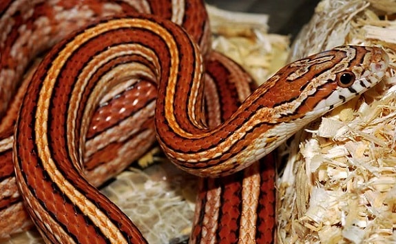 Striped Corn Snake
