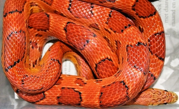 Sunkissed Corn Snake