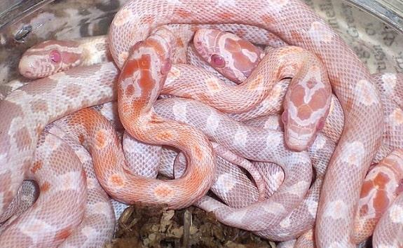 Sunrise Corn Snakes