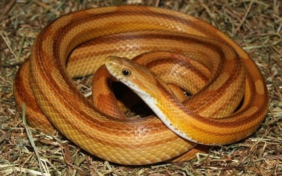 Toffee Corn Snake