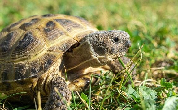 Where to Buy Russian Tortoise