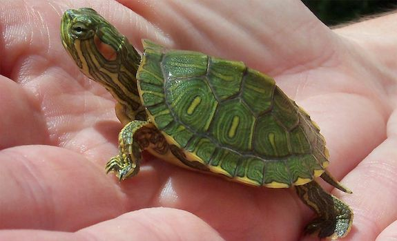 baby red eared slider