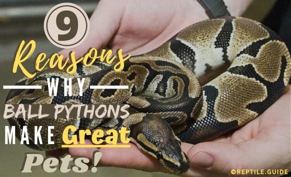 ball python pets