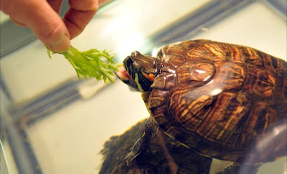 hand feeding red eared slider