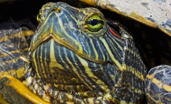 red eared slider face