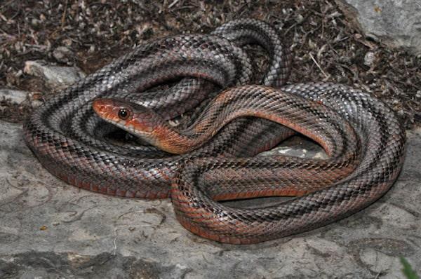 Baird's Ratsnake