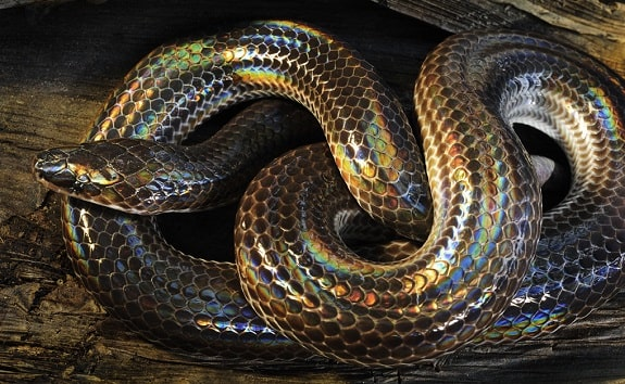 Sunbeam Snake Background Information