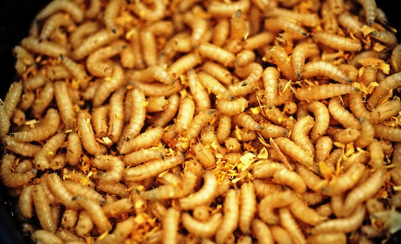 how to care for waxworms